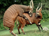 Bongo  Mating Attempt  Zoo Animal