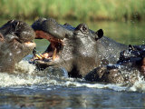 Hippopotamus  Fighting