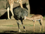 Gerenuk  Courting Ostrich  Zoo Animal