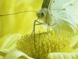 Cabbage White Butterfly  Pieris Brassicae