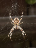 Garden Spider on Web from Below  Middlesex  UK