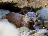 European Otter Eating an Eel on a Rocky Shore  Scotland