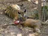 Bengal Tiger  Young Male Tiger Eating Rear End of Sambar Deer Kill  Madhya Pradesh  India