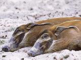 Red River Hog  Resting Pair  Zoo Animal