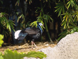 Malayan Crested Fireback Pheasant  Male in Clearing  Zoo Animal