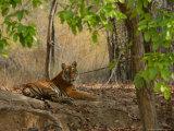 Bengal Tiger  Female Resting  Madhya Pradesh  India