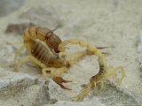 Scorpion  Androctonus Australis and Buthus Occitanus
