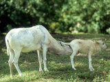 Addax  Mother Cleaning Baby