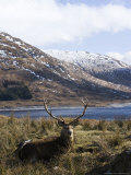Highland Red Deer  Stag Laying in Grass with Mountainous Backdrop  the Highlands  Scotland