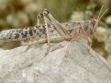 Desert Locust  Female