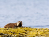 European Otter  Female on Seaweed Covered Rocks  Scotland