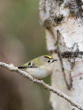 Goldcrest  Perched on Birch Branch with Fly in Bill  Lancashire  UK