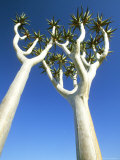 Quiver Tree  Namib-Naukluft Park  Namibia