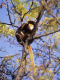 Matschies Tree Kangaroo  Sunning in Tree  Michigan  USA
