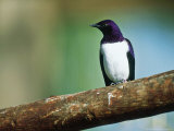 Amethyst Starling  Zoo Animal