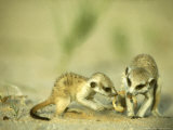 Meerkat  Young Sharing Scorpion Prey  Kalahari