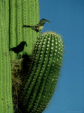 Cactus Wren  with Food  Saguaro  NM