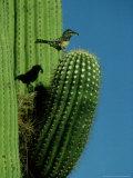Cactus Wren  with Food  Saguaro  NM