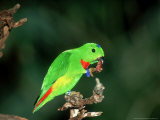 Blue-Crowned Hanging Parrot  Male Eating  Zoo Animal