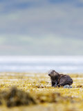 European Otter  Juvenile Resting on Rock Amongst Seaweed  Scotland