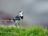 Pied Wagtail  Standing in Grass  Scotland