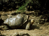 Giant Tortoise  Lonesome George