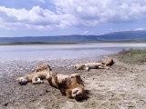 African Lions  Sleeping  Tanzania