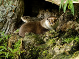 Otter  Dog Otter at Base of a Willow Tree  Earsham  UK