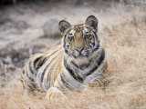 Bengal Tiger  Young Female Lying in Soft Grass  Madhya Pradesh  India