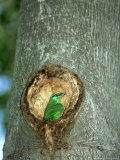Black-Browed Barbet at Nest Site  Zoo Animal
