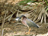 Green Heron  Swallowing Big Fish  USA