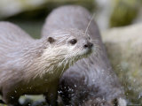 Asian Short Clawed Otters  Playing in a Rockpool  Earsham  UK