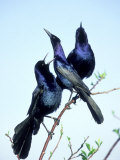 Boat-Tailed Grackle  Displaying Males  USA