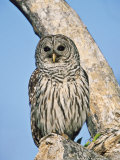 Barred Owl  Perched  Florida  USA