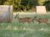 Roe Deer  Buck Following Scent of Doe  Somerset  UK
