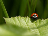 7-Spot Ladybird  Crawling on Edge of Stinging Nettle Leaf  Middlesex  UK