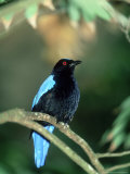 Fairy Bluebird  Male  Zoo Animal