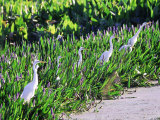 Great Egret  Hunting from Pickerelweed  USA