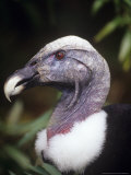 Andean Condor  Female Portrait  Zoo Animal
