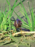 Green Heron  Hunting  USA