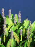 Pickerelweed  Florida  USA