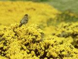Falkland Thrush  Turdus Falcklandii