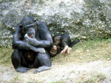 Chimpanzee  Mother & Baby  Zoo Animal