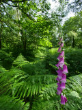 Foxglove  Ruislip Woods National Nature Reserve  UK
