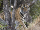 Bengal Tiger  Young Male Approaching from Around a Small Tree  Madhya Pradesh  India