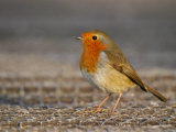 Robin  Standing  Hampshire  UK