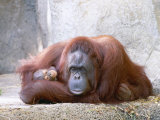 Bornean Orangutan  Mum and 2 Month Old Baby  Zoo Animal