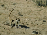 Meerkat  Approaching a Snake  Kalahari