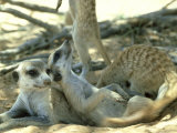 Meerkats  Resting in the Shade  Kalahari