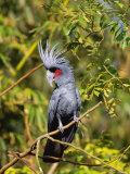 Black Palm Cockatoo  Crest Erect  Zoo Animal